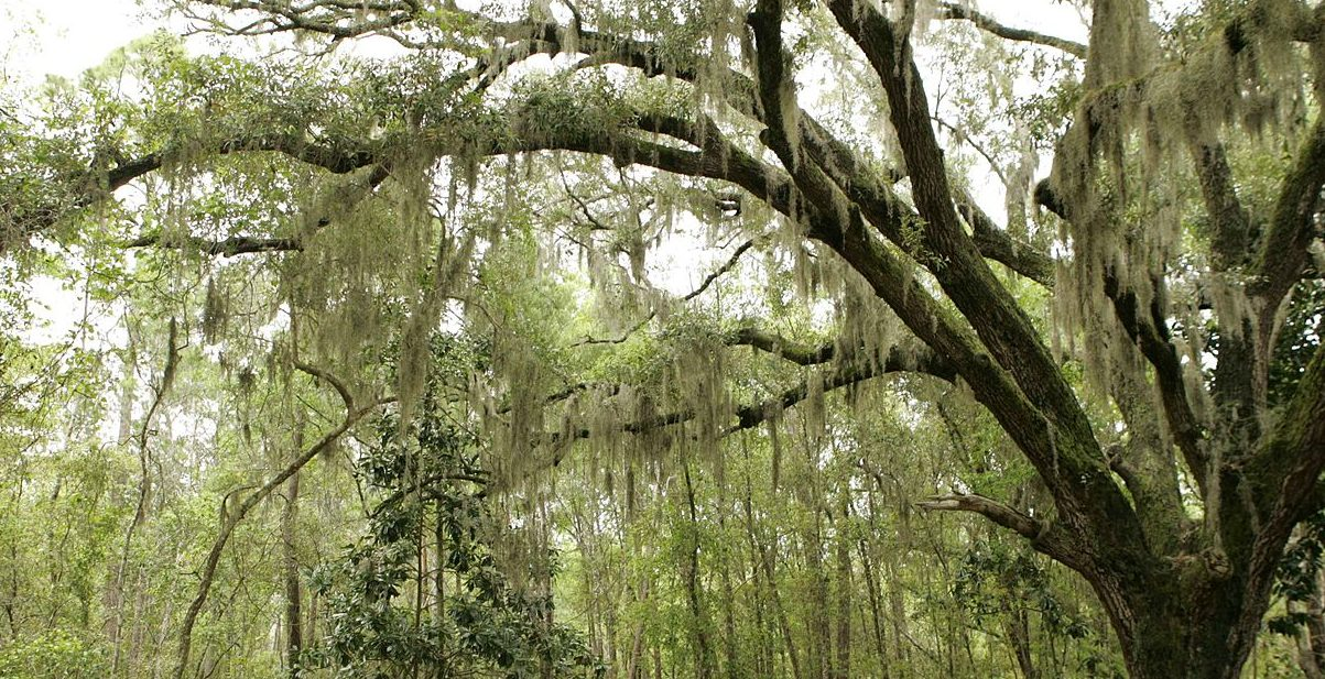Photo shows long, thin brown leaves of Spanish moss hanging down from the branches of a large oak tree.