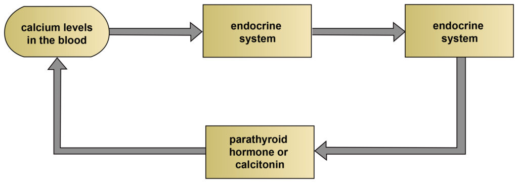 This is a four-part feedback loop. Each part leads to the next. The first part is the calcium levels in the blood. The second is the endocrine system. The third is the endocrine system. The fourth is parathyroid hormone or calcitonin. The loop then returns to the first part (calcium levels in the blood).