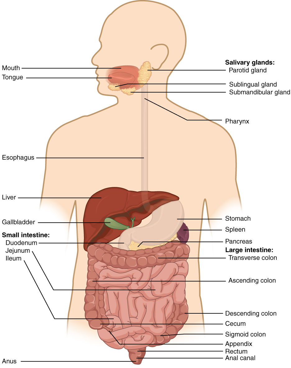 this diagram shows the digestive system of a human being, with the major  organs labeled