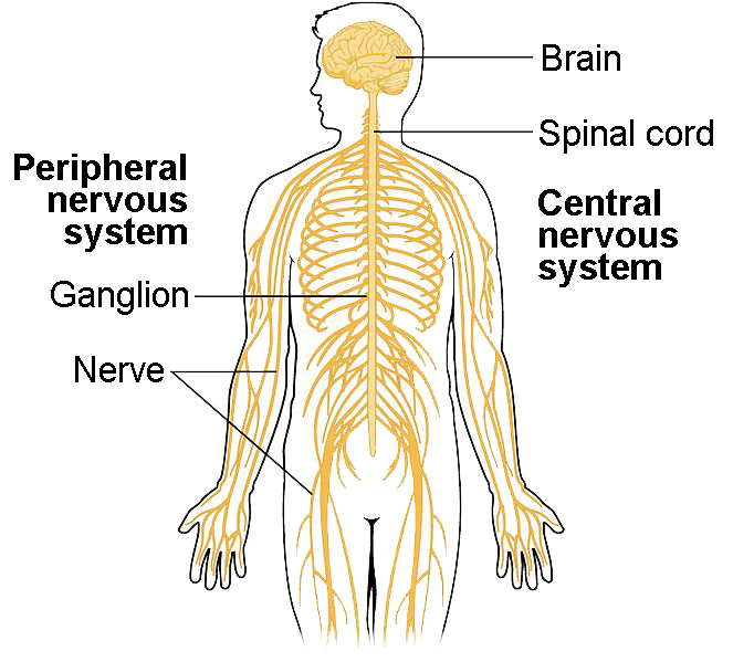 The central nervous system includes the brain and the spinal cord. The peripheral nervous system includes nerves and ganglion.