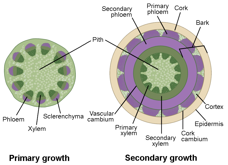 Stem Growth Biology For Majors Ii