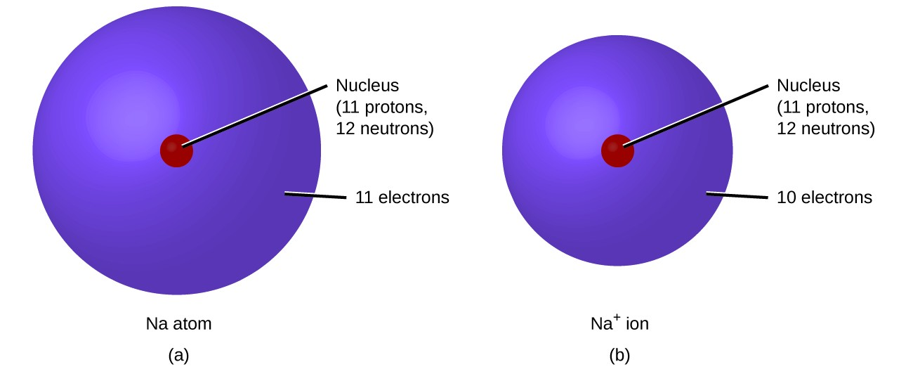 FigureA shows a sodium atom, N a, which has a nucleus containing 11 protons and 12 neutrons. The atom's surrounding electron cloud contains 11 electrons. FigureB shows a sodium ion, N a superscript plus sign. Its nucleus contains 11 protons and 12 neutrons. The ion's electron cloud contains 10 electrons and is smaller than that of the sodium atom in figure A.