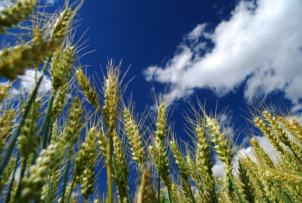 Photo of wheat with bright blue sky and white clouds in the background.