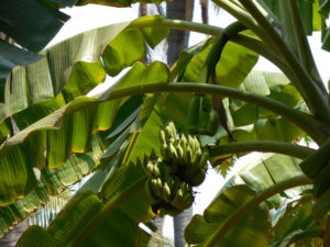 Photo of a banana tree with a large bunch of bananas near the top.