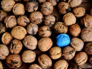 Photo of thirty or so walnuts in their shells. One walnut is bright blue.