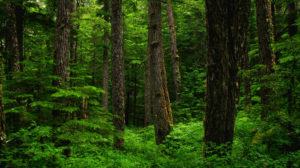 Photo of lush, old-growth forest