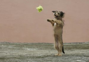 Photo of a small dog doing a trick, standing on his hind legs to catch a tennis ball.