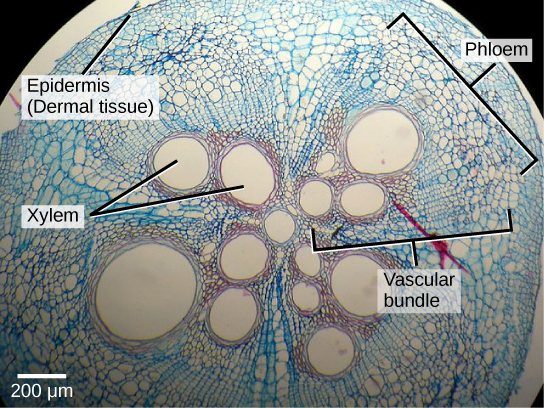Micrograph shows a round plant stem cross section. There are four teardrop-shaped vascular bundles, with the narrow point of the teardrop meeting at a round xylem vessel. Within each teardrop near the center are two to four more xylem vessels. To the outside of the xylem vessels are much smaller phloem cells. The four vascular bundles are encased in ground tissue. Cells of the ground tissue are somewhat larger than phloem. The stem is protected by an outer layer of dermal tissue, made up of several layers of cells smaller than phloem cells.