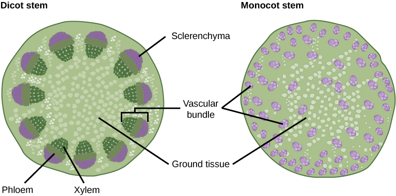 Part A is cross section of a dicot stem. In the center of the stem is ground tissue. Symmetrically arranged near the outside of the stem are egg-shaped vascular bundles; the narrow end of the egg points inward. The inner part of the vascular bundle is xylem tissue, and the outer part is sclerenchyma tissue. Sandwiched between the xylem and sclerenchyma is the phloem. Part B is a cross section of a monocot stem. In the monocot stem, the vascular bundles are scattered throughout the ground tissue. The bundles are smaller than in the dicot stem, and distinct layers of xylem, phloem and sclerenchyma cannot be discerned.
