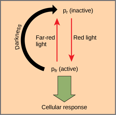 Diagram shows the active (Pr) and inactive (Pfr) forms of phytochrome. An arrow indicates that red light converts the inactive form to the active form. Far-red light or darkness converts the active form back to the inactive form. When phytochrome is active, a cellular response occurs.