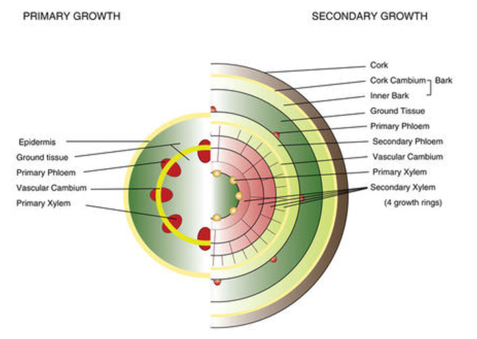 In primary growth, there are five components: The exterior is called the epidermis. The interior is ground tissue. Inside the ground tissue, there is a ring known as the vascular cambium. Attached to the vascular cambium are primary phloem and primary xylem. In secondary growth, there are several more components. From outside to in the different layers are as follows: Cork, Bark, inner bark, ground tissue, primary phloem, secondary phloem, vascular cambium, primary xylem, and finally the secondary xylem, which has four growth rings in this example.