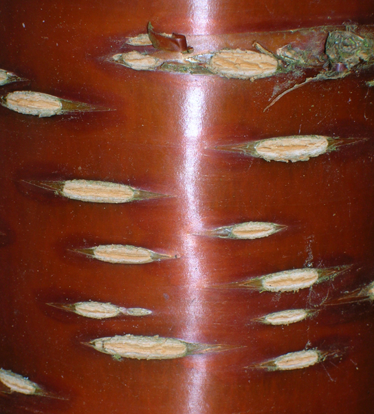 Photo shows rough, white ovals embedded in a smooth, reddish brown woody tree trunk. Where the ovals are, it appears as if the bark has been scraped away.