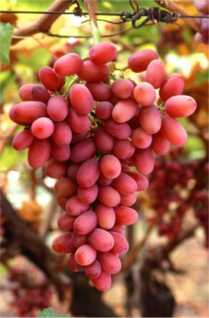 Photo shows a bunch of reddish grapes growing on a vine.