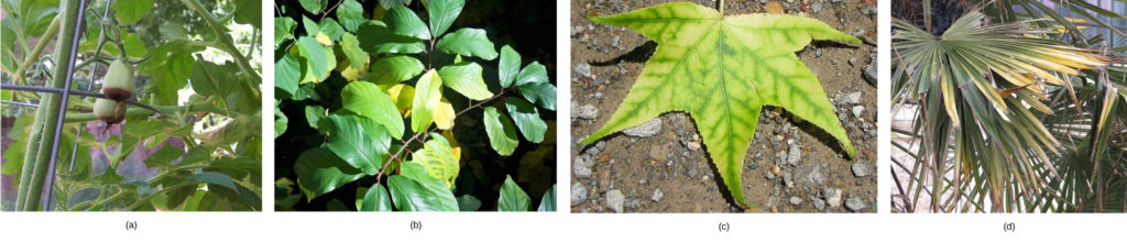 Photo (a) shows a tomato plant with two green tomato fruits. The fruits have turned dark brown on the bottom. Photo (b) shows a plant with green leaves; some of the leaves have turned yellow. Photo (c) shows a five-lobed leaf that is yellow with greenish veins. Photo (d) shows green palm leaves with yellow tips.