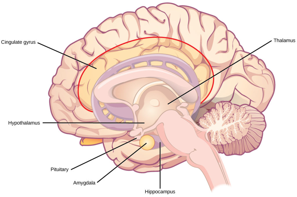 Illustration shows parts of the limbic system. The thalamus and hypothalamus are located in the cavity in the center of the cerebral cortex. The cingulate gyrus is part of the cerebral cortex that wraps around the upper part of the basal ganglia. The hippocampus is part of the cerebral cortex located beneath the thalamus. The amygdala is located at the end of the basal ganglia.