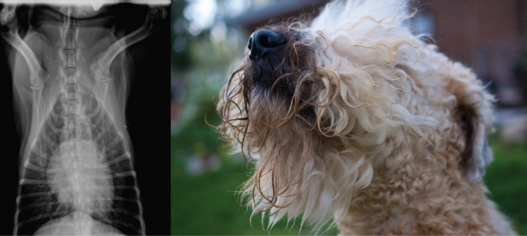 An X-ray on the left shows a dog heart, which appears as a white, oblong mass, surround by virtually transparent lung tissue. The photo on the right shows a dog.
