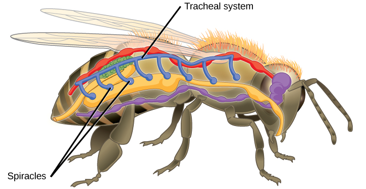 The illustration shows the tracheal system of a bee. Openings called spiracles appear along the side of the body. Vertical tubes lead from the spiracles to a tube that runs along the top of the body from front to back.