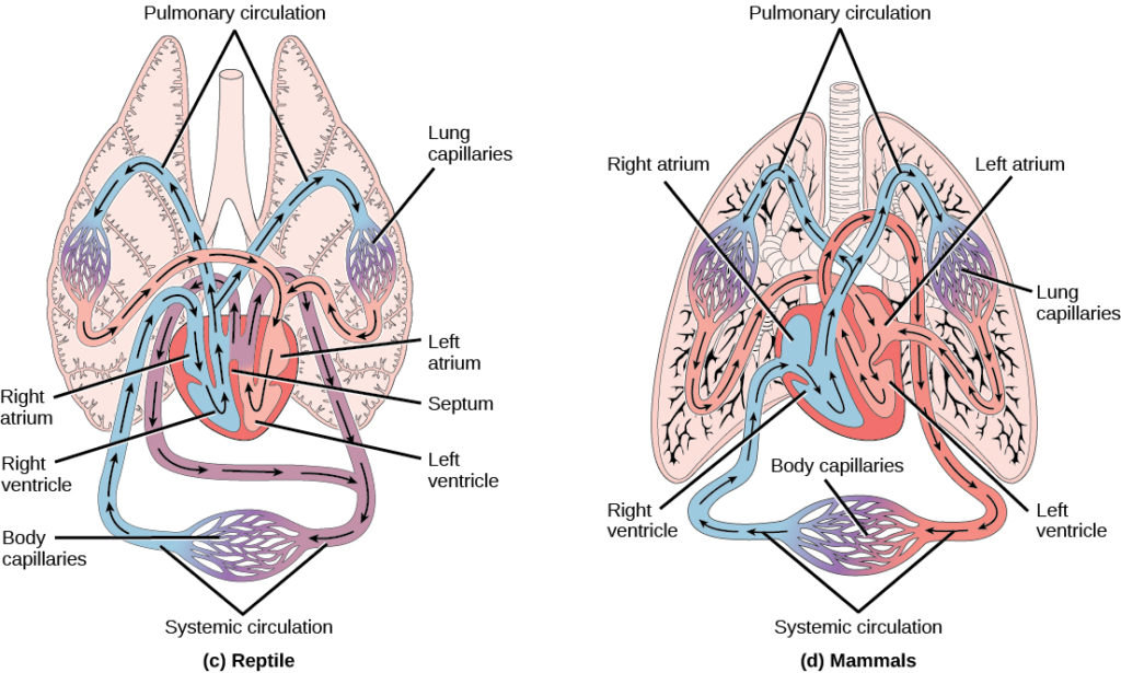 Illustration A shows the circulatory system of reptiles, which have a four-chambered heart. The right and left ventricle are separated by a septum, but there is no septum separating the right and left atrium, so there is some mixing of blood between these two chambers. Blood from systemic circulation enters the right atrium, then flows from the right ventricle and enters pulmonary circulation, where blood is oxygenated in the lungs. From the lungs blood travels back into the heart through the left atrium. Because the left and right atrium are not separated, some mixing of oxygenated and deoxygenated blood occurs. Blood is pumped into the left ventricle, then into the body. Illustration B shows the circulatory system of mammals, which have a four-chambered heart. Circulation is similar to that of reptiles, but the four chambers are completely separate from one another, which improves efficiency.