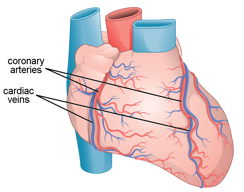 This illustration shows the outside of the heart. Coronary arteries and coronary veins run from the top down along the right and left sides.