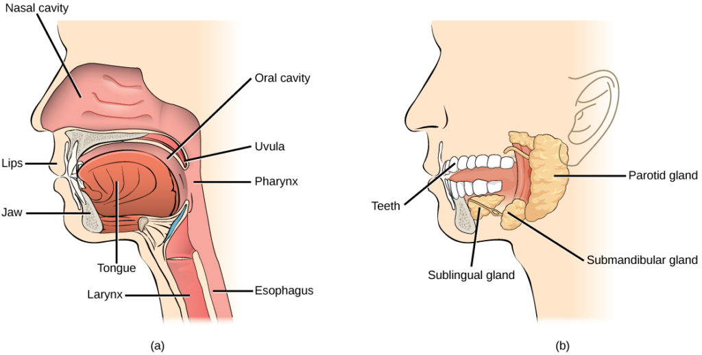 Illustration A shows the parts of the human oral cavity. The tongue rests in the lower part of the mouth. The flap that hangs from the back of the mouth is the uvula. The airway behind the uvula, called the pharynx, extends up to the nostrils and down to the esophagus, which begins in the neck. Illustration B shows the two salivary glands, which are located beneath the tongue, the sublingual and the submandibular. A third salivary gland, the parotid, is located behind the pharynx.