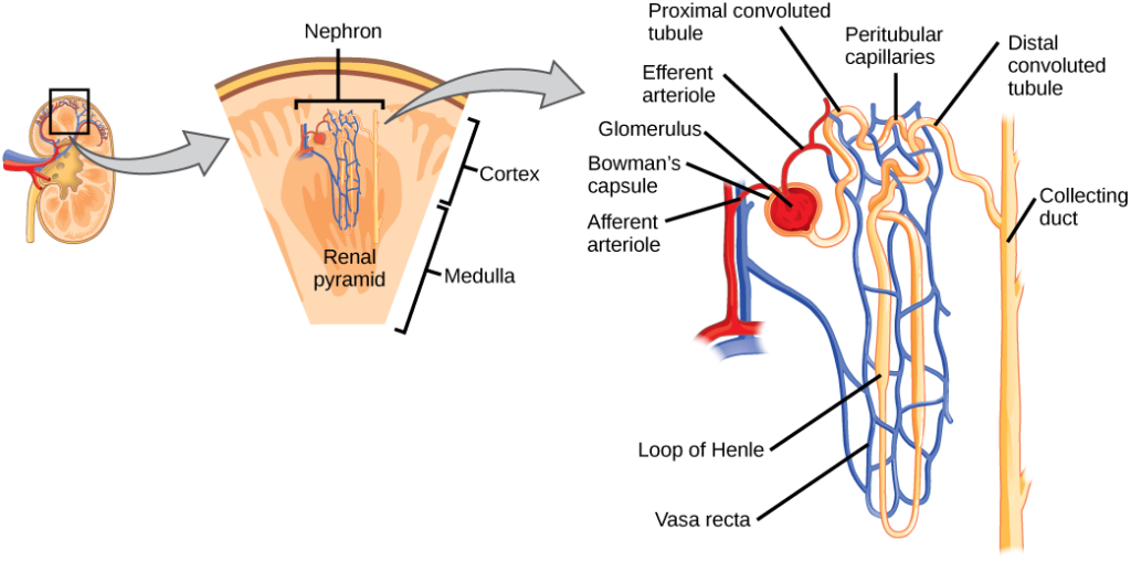 Illustration shows the nephron, a tube-like structure that begins in the kidney cortex. Here, arterioles converge in a bulb-like structure called the glomerulus, which is partly surrounded by a Bowman's capsule. Afferent arterioles enter the glomerulus, and efferent arterioles leave. The glomerulus empties into the proximal convoluted tubule. A long loop, called the loop of Henle, extends from the proximal convoluted tubule to the inner medulla of the kidney, and then back out to the cortex. There, the loop of Henle joins a distal convoluted tubule. The distal convoluted tubule joins a collecting duct, which travels from the medulla back into the cortex, toward the center of the kidney. Eventually, the contents of the renal pyramid empty into the renal pelvis, and then the ureter.