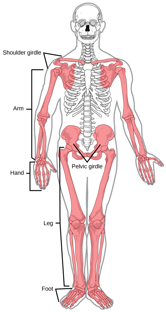 Illustration shows the appendicular skeleton, which consists of arms, legs, shoulder bones, and the pelvic girdle.