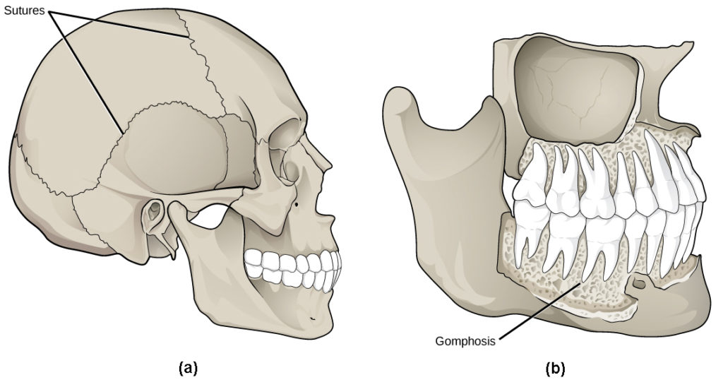 Part a shows sutures that knit the back part of the skull together with the front and lower parts. Part b shows a gomphosis connecting a tooth to the jaw. The gomphoses have a porous appearance.