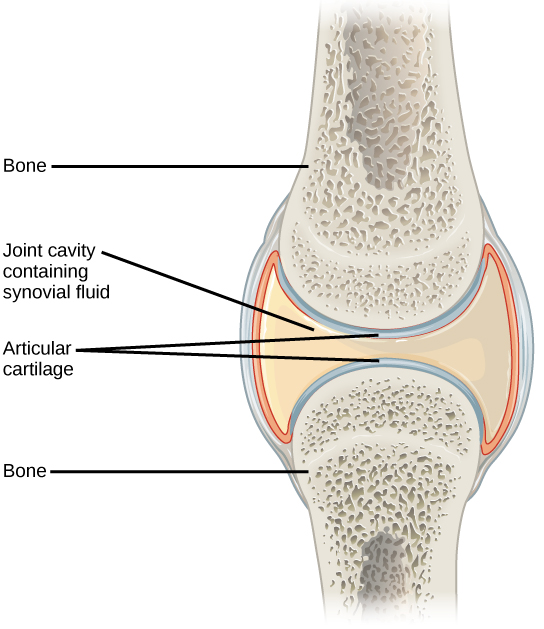 Illustration shows a synovial joint between two bones. An I-beam–shaped synovial cavity exists between the bones, and articular cartilage wraps around the tips of the bones. Ligaments connect the two bones together.
