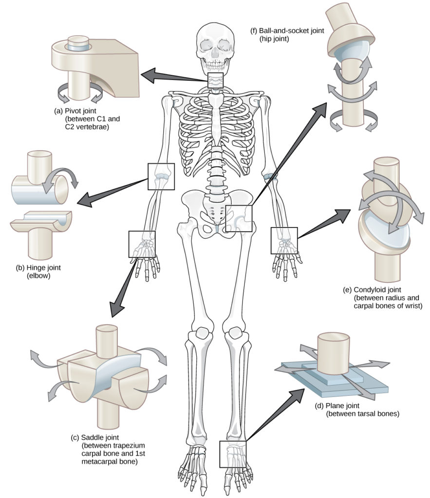 Illustration shows joints of the body. The neck is a pivot joint that allows rotation. The hip is a ball-and-socket joint that allows a swiveling movement. The elbow is a hinge joint that allows movement in one direction. The wrist has a saddle joint to allow back-and forth-movement, and a condyloid joint to allow up-and-down movement. The tarsals of the foot have a plane joint that allows back-and-forth movement.