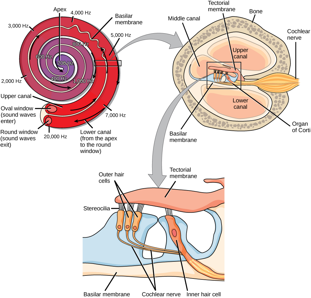 """A series of three illustrations are shown. The top illustration shows a cochlea, which is shaped like a snail shell with two parallel chambers, the upper chamber and the lower chamber, coiling from the outside in. These chambers are separated by a flexible membrane basilar membrane. The oval window covers the inner of these parallel chambers. Sound waves enter here, and travel to the middle, or apex, of the coil. The membrane separating the two chambers gets thinner from the outside in, such that is vibrates at different sound frequencies, about 20,000 hertz on the outside and about 200 hertz on the inside. Sound then travels back out through the lower chamber, and exits through the round window. The middle illustration shows a closer view of a cross-sectional image of the cochlea. A roughly circular shape has a roughly circular bone exterior, with the middle portion of the circle divided into four major areas. Two of these are spaces labeled """"upper canal"""" and """"lower canal."""" In the middle is the organ of Corti, and extending from the middle out through the outer bone area is the cochlear nerve, which extends from the middle as a thin tube and then bulges into a larger oval shape as it extends through the bone. The bottom illustration is an enlarged image of the organ of Corti. In the view shown, the top section is a flattish pink area called the tectorial membrane. Extending beneath that membrane are three areas with hair-like connectors (stereocilia) that run from the membrane to the outer hair cells. The outer hair cells are shaped like rectangles with rounded corners. From the end of each protrudes a narrow tube: the cochlear nerve. These narrow tubes join to an inner hair cell, which looks similar to the outer hair cells but with its rectangular shape remaining a consistent width instead of narrowing into a nerve. At the bottom of the image, opposite the top tectorial membrane, is a basilar membrane."""