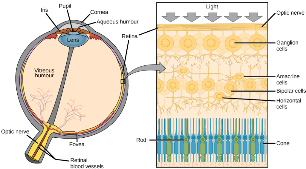 The left illustration shows a human eye, which is round and filled with vitreous humour. The optic nerve and retinal blood vessels exit the back of the eye. At the front of the eye is the lens with a pupil in the middle. The lens is covered by the iris, which in turn is covered by the cornea. The aqueous humour is a gel-like substance between the cornea and iris. The retina is the lining of the inner eye. A second illustration is a blowup which shows that the optic nerve is at the surface of the retina. Beneath the optic nerve is a layer of ganglion cells, and beneath this is a layer of bipolar cells. Both ganglia and bipolar cells are nerve cells with root-like appendages. Beneath the bipolar cell layer are the rods and cones. Rods and cones are similar in structure and column-like.