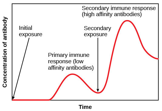 Bar graph plots antibody concentration versus primary and secondary immune response. During the primary immune response, a low concentration of antibody is produced. During the secondary immune response, about three times as much antibody is produced.