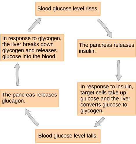 When blood glucose levels fall, the pancreas secretes the hormone glucagon. Glucagon causes the liver to break down glycogen, releasing glucose into the blood. As a result, blood glucose levels rise. In response to high glucose levels, the pancreas releases insulin. In response to insulin, target cells take up glucose, and the liver converts glucose to glycogen. As a result, blood glucose levels fall.