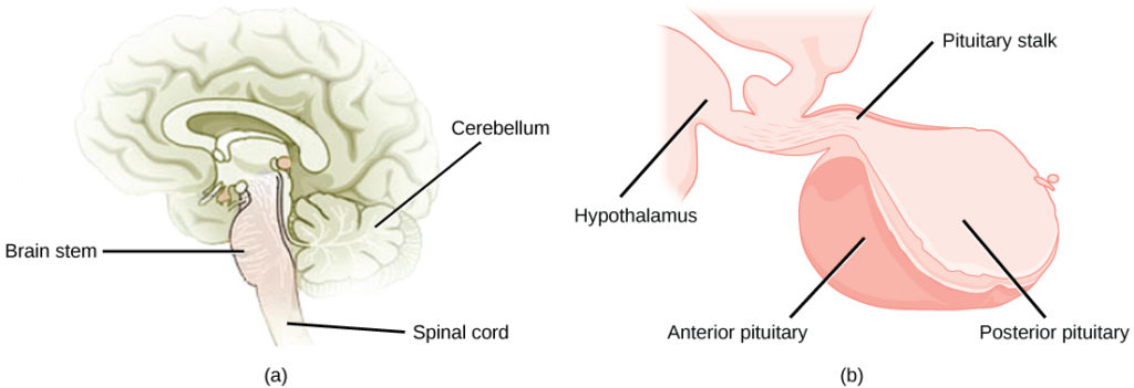 The pituitary gland sits at the base of the brain, just above the brain stem. It is lobe-shaped and hangs down from the hypothalamus, to which it is connected to via a narrow stalk. The anterior part of the pituitary is toward the front, and the posterior end is toward the back.