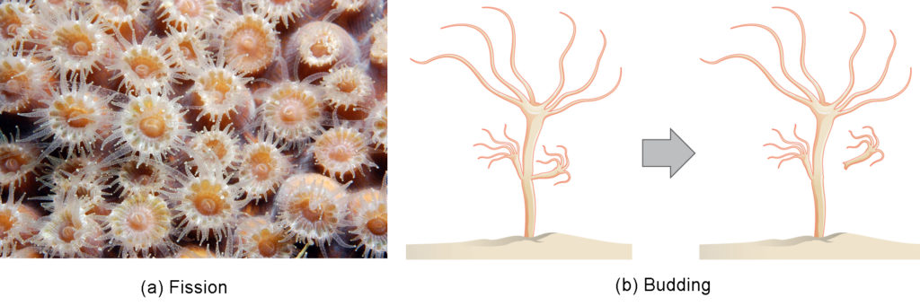 Image A shows many coral polyps clustered together. Each Polyp is cup-shaped, with tentacles radiating out from the rim. Illustration B shows a hydra, which has a stalk-like body with tentacles growing out the top. A smaller hydra is budding from the side of the stalk.