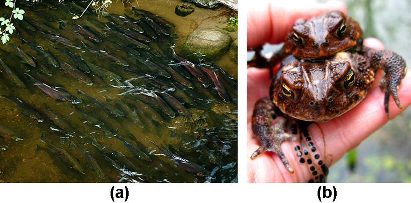 Photo A shows many salmon swimming up a shallow creek. Photo B shows mating toads.