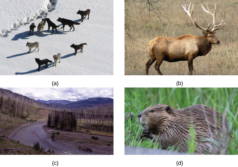 Photo A shows a pack of wolves walking on snow. Photo B shows a river running through a meadow with a few copses of trees, some living and some dead. Photo C shows and elk, and photo d shows a beaver.