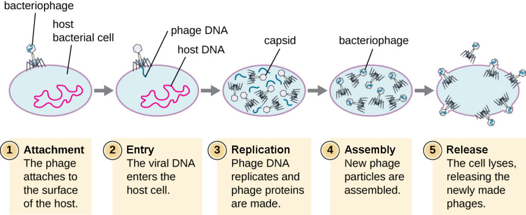 This figure outlines the stages of the lytic cycle. Step 1 is attachment when the phage attaches to the surface of the host. The bacteriophage is shown sitting on the surface of the bacterial host cell. Step 2 is penetration when the viral DNA enters the host cell. The image shows DNA from within the virus being injected into the host DNA. Step 3 is biosynthesis when the phage DNA replicates and the phage proteins are made. The image shows various pieces of virus being built within the cell. Step 4 is maturation when the new phage particles are assembled. This shows the viral components being put together in the cell. The fifth step is lysis when the cell lyses and the newly made phages are released. This shows the cell bursting and built viruses being released.