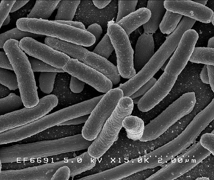 Scanning electron micrograph of Escherichia coli, grown in culture and adhered to a cover slip.