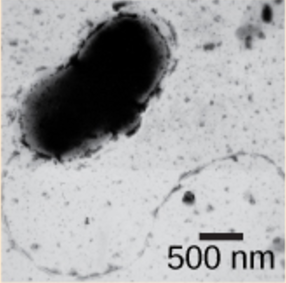 Micrograph shows a bent rod-shaped Desulfovibrio vulgaris bacterium with a long flagellum.