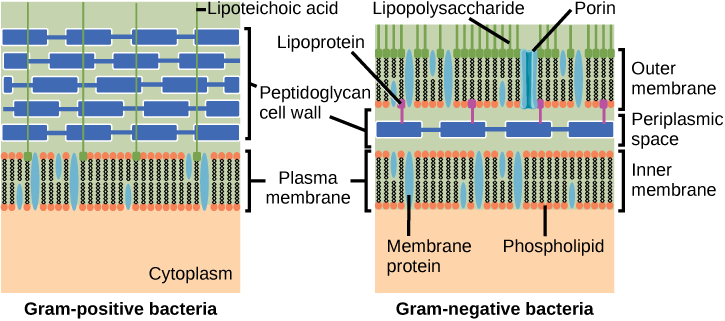 The left illustration shows the cell wall of Gram-positive bacteria. The cell wall is a thick layer of peptidoglycan that exists outside the plasma membrane. A long, thin molecule called lipoteichoic acid anchors the cell wall to the cell membrane. The right illustration shows Gram-negative bacteria. In Gram-negative bacteria, a thin peptidoglycan cell wall is sandwiched between an outer and an inner plasma membrane. The space between the two membranes is called the periplasmic space. Lipoproteins anchor the cell wall to the outer membrane. Lipopolysaccharides protrude from the outer membrane. Porins are proteins in the outer membrane that allow entry of substances.