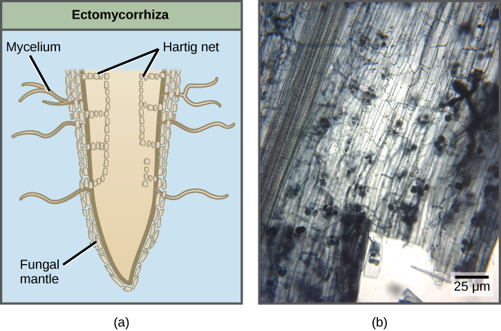 Part A compares two types of mycorrhizae are shown: ectomycorrhiza and arbuscular mycorrhiza. In ectomycorrhiza, fungal hyphae form a structure called a Hartig net inside the root. The Hartig net forms rows of cells that extend straight down, and branch toward the outside of the root. A fungal mantle surrounds the root. Mycelia extend from the fungal mantle. In arbuscular mycorrhiza, the fungi form finger-like clusters that are connected to mycelia that extend from the root into the soil. Part B is a micrograph of arbuscular mycorrhiza, which appear as grape-like clusters in a root tip.