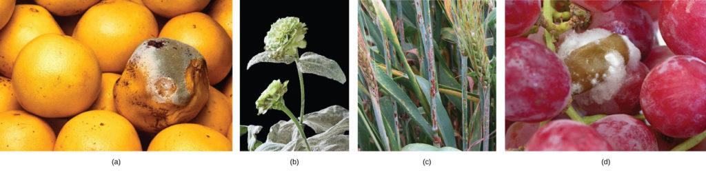 Part A show fungal parasites on grapefruit. Part B show fungal parasites on a zinnia. Part C show fungal parasites on a sheaf of barley. Parts D show fungal parasites on grapes.