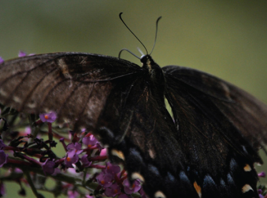 A black butterfly with two symmetrical wings.