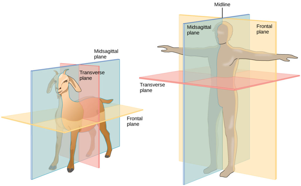 Illustration A shows the planes of a goat body. The midsagittal plane runs through the middle of the goat from front to back, separating the right and left sides. The frontal plane also runs from front to back, but separates the upper half of the body from the lower half. The transverse plane runs across the middle of the goat, and separate the front and back halves of the body. Illustration B shows the planes of a human body. The midsagittal plane runs from top to bottom and separates the right and left halves of the body. The Frontal plane also runs from top to bottom and separates the front and back halves of the body. The Transverse plane dissects the middle of the body between the chest and abdomen, separating the top of the body from the bottom. The midline is an imaginary line running through the middle of the body, from top to bottom.