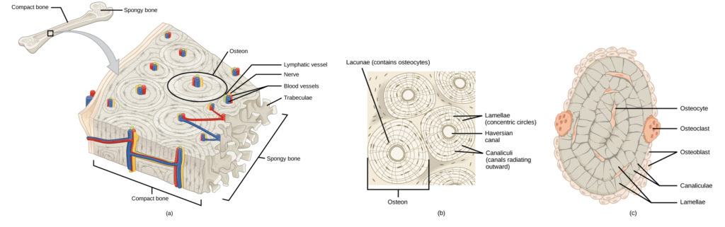 Illustration A shows a cross section of a long bone with wide protrusions at either end. The outer part is compact bone. Inside the compact bone is porous spongy bone made of web-like trabreculae. The spongy bone fills the wide part at either end of the bone. In the middle, a hollow exists inside the spongy bone. Illustration B shows several circular osteons clustered together in compact bone. At the hub of each osteon is an opening called the Haversian canal filled with blood and lymph vessels and nerves. The lamellae surrounding the Haversian canal resemble tree rings. Lacunae are wide spaces in the rings between the lamellae. Microchannels called canaliculi radiate through the rings out from the central Haversian canal, connecting the lacunae together. Illustration C shows small osteoclasts surrounding the outside of bone. Larger osteoclasts are also on the outer surface, forming a hollow in the bone. Osteocytes are long, thin cells in the lacunae.