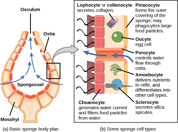 Part a shows a cross-section of a sponge, which is vase-shaped. The central opening is called the spongocoel. The body is filled with a gel-like substance called mesohyl. Pores within the body, called ostia, allow water to enter the spongocoel. Water exits through a top opening called an osculum. Part b shows an enlarged view of the sponge body. The outer surface is covered with cells called pinacocytes, which form the skin. Pinacocytes consume large food particles by phagocytosis. The inner surface is lined with cells called choanocytes, which have flagella that move water through the body. The mesohyl is sandwiched between the outer and inner surfaces. Various cell types exist within this layer. These include collagen-secreting lophocytes, amoebocytes, which carry out a variety of functions, and oocytes. Sclerocytes within this layer produce silica spicules that extend outside the body of the sponge. Porocytes, hollow tube-shaped cells that span the body of the sponge, regulate movement of water through the ostia.