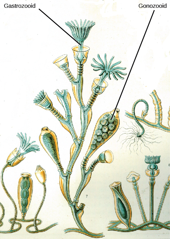 Illustration a shows Obelia geniculata, which has a body composed of branching polyps of two different types.