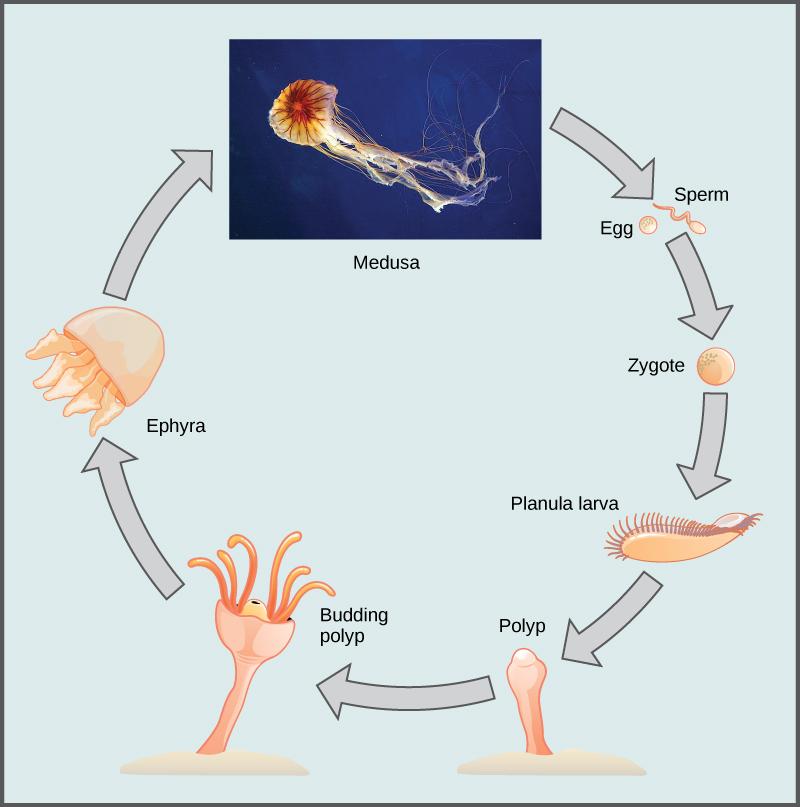 The illustration shows the lifecycle of a jellyfish, which begins when sperm fertilizes an egg, forming a zygote. The zygote divides and grows into a planula larva, which looks like a swimming millipede. The planula larva anchors itself to the sea bottom and grows into a tube-shaped polyp. The polyp forms tentacles. Buds break off from the polyp and become dome-shaped ephyra, which resemble small jellyfish. The ephyra grow into medusas, the mature forms of the jellyfish.
