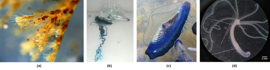 Photo a shows Obelia, which has a body composed of branching polyps. Photo b shows a Portuguese Man O' War, which has ribbon-like tentacles dangling from a clear, bulbous structure, resembling an inflated plastic bag. Photo c shows Velella bae, which resembles a flying saucer with a blue bottom and a clear, dome-shaped top. Photo d shows a hydra with long tentacles, extending from a tube-shaped body.